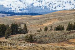 Bison dots on the hillscape (transpixt) Tags: nanparegionalevent grandtetons montana nationalpark wyoming yellowstone yellowstonenationalpark usa us