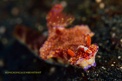 Free Ride (kayak_no1) Tags: nikon d800e nauticamhousing 105mmvr diopter ysd1 subsee10 underwater underwaterphotography macro supermacro diving scubadiving uw lembehstrait indonesia emperorshrimp nudibranch