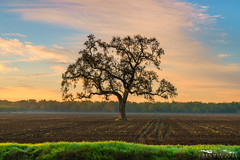 Crop Master - San Joaquin County, California (Tactile Photo | Greg Mitchell Photography) Tags: loneoak sanjoaquincounty landscape soft saturday 2016 clouds bluesky morning oaktree tree november sunrise greengrass liveoak valleyoak color plowed pastel field