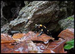 TINY BABY FIRE SALAMANDER LOOKING OUT OF ITS CAVE (LitterART) Tags: salamander feuersalamander firesalamander spottedsalamander steiermark österreich biologie biology wald foret wood forest amphibie amphibian amphibians amphibien herbst autumn secretlife nikon nikonp330 salamandrasalamandra salamandra