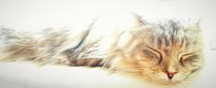 Enjoys the music video (eagle1effi) Tags: mainecoon cat sleeping meditation tibetian samsung pro user manuelleeinstellungen miezi grace silvana s7 samsunggalaxys7