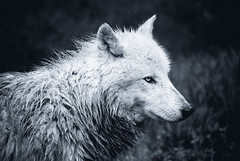 Frozen (Saana Londono Photographie) Tags: animals animal animaux amazing wild wildlife white photography photographie photoshoots magnifique magic mammal moment magnificient mammifre magique canon colors couleurs cute close camera nature noir ngc reflex eos expo eye exposition eyes explore wolf wolves