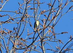 Eastern phoebe (Goggla) Tags: nyc new york east village tompkins square park urban wildlife bird eastern phoebe