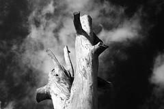 eucaliptus (ralnajas) Tags: eucaliptus arbre arbol artistic three die mort muerto