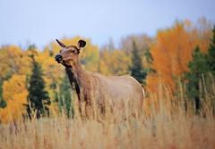 Female Elk (zgrial) Tags: elk cow female wildlife dof autumn grandteton nationalpark wyoming usa grasses zgrial