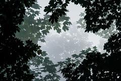 Leaves in the Fog (Bernd Thaller) Tags: leaves foliage tree trees outdoor mist fog haze monochrome gray black shade plant