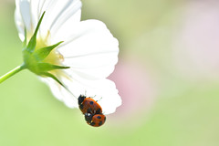 (myu-myu) Tags: nature insect ladybug coccinellaseptempunctata couple cosmos nikon d810      japan
