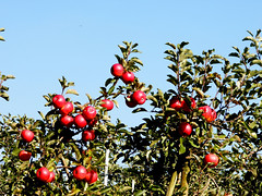 Apples (tatiana.minori) Tags: autumn nature landscape outside fall germany country feeling village bodensee lake constance