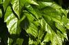 Parthenocissus tricuspidata (Jim 592) Tags: parthenocissus leaf leaves climbing