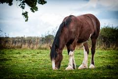 Shire (Mister Oy) Tags: davegreen oyphotos oyphotos cheshire fujixpro2 fuji55200mm cotebrookshirehorsecentre cotebrook shire horse dobbin