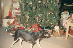 Penny (neshachan) Tags: family familyphotos penny dog christmas