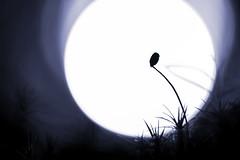 Contre jour (Hexilene) Tags: sigma sigma105mm sporophyte soleil bokey blueribbon blanc nikon nikonpassion nature nikond750 noir nuit landscap proxy plante p