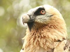 Bearded Vulture (Standardwing) Tags: tierparkberlin gypaetusbarbatusbarbatus gypaetusbarbatus tierparkfriedrichsfelde beardedvulture lammergeier ossifrage