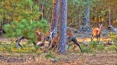 Fighting deers (John van Beers) Tags: cervuselaphus hogeveluwe parkhogeveluwe bronst bronstexcursie deer edelhert hert reddeer