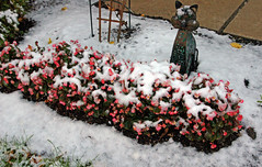 Morning Finding (+David+) Tags: snow outsidecat begonias nowitsrain