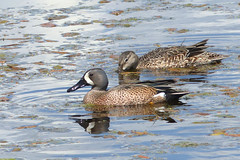 Blue-winged Teal pair (Delta Naturalists Casual Birding) Tags: 201519 dncb colony dncblocation dncboutingid