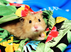 Super Sweet Gucio (pyza*) Tags: hamster hammie syrian syrianhamster chomik chomiksyryjski animal pet rodent critter adorable cute sweet furry fluffy monster