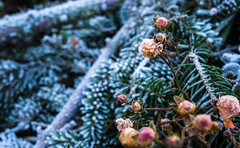 First signs of Mr. Frost (CHCaptures) Tags: winter frost berry needels green blue white outdoor cold sony ilce7m2 sel2470z