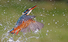 Kingfisher (oddie25) Tags: canon 1dx 100400mkii kingfisher dive nature wildlife bird