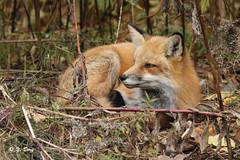 Renard roux / Red Fox (Yves Dry) Tags: renardroux sieste camouflage canon canoneos7d nature qubec wildlife canonef300mmf4lisusm redfox vulpesvulpes mammifre mammal