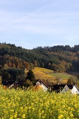 Rapeseed I (tillwe) Tags: tillwe 201611 autumn gundelfingen landscape wildtal green yellow blackforest rapeseed