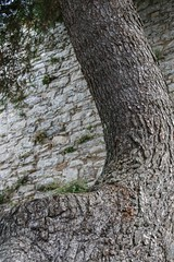 Ancient wall and tree (nican45) Tags: 09092016 18270 18270mm 18270mmf3563diiivcpzd 2016 9september2016 canon dslr eos70d erice italia italy middleages slr september sicilia sicily tamron trapani citywall medieval stone tree trunk