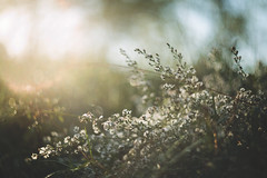 Imagination... (Tammy Schild) Tags: flowers white field light morning bokeh blur autumn fall helios 402 nature haze