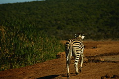 DSC03731 (Emily Hanley Photography) Tags: elephant elephants addo elephantpark nationalpark sa southafrica africa photography colour warthogs buffalo zebra waterhole rawimages raw nature naturalphotography animals animal