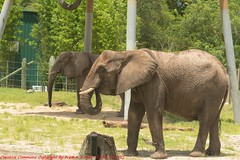Tampa Zoo (82) 20160813 (gaijinnokoi) Tags: kimler lowry zoo duck tiger elephant giraffe orangatan tampa florida bird nikon d7100 blackandwhite bw