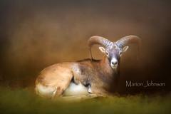 Big Horn Sheep (bj31956@bellsouth.net1) Tags: big horn sheep animals wildlife horns mixed medias textures backgrounds