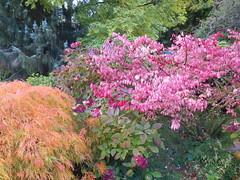 Autumn Colour - c (Landstrider1691) Tags: autumncolour maple japanesemaple grasmere lakedistrict cedar hydrangea acer palmatum acerpalmatumdissectum euonymusalatus euonymus acerpalmatum