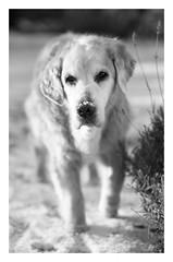 46/52 Nick & Snow (in Explore) (Eline Lyng) Tags: canine golden retriever goldenretriever portrait snow winter leica leicas summicrons100mm 100mm mediumformat littledoglaughedstories littledoglaughednoir