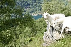 Goats and Geirangerfjorden (incommunicadoo) Tags: norwegen norway flickr geirangerfjord ziegen goats geirangerfjorden geiranger