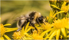 Memories of Summer (Charles Connor) Tags: rainford england unitedkingdom gb honeybee bees flyinginsects insects insectphotography insectmacro macrophotography ragwort wildflowers uknature nature naturephotography canon7dmk11 canon100mmmacrolens