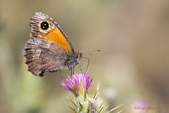 Mariposa, Butterfly.  Neomaenas janirioides. (Sergio Bitran M) Tags: 2016 mariposa lepidoptera insecto butterfly