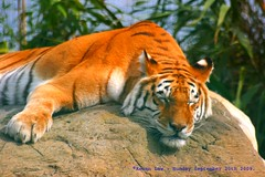 I Am A Rock........ (law_keven) Tags: indiantiger isleofwight isleofwightzoo zoo zoology