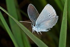 Rolf_Nagel-Fl-8353-Cupido_minimus (Insektenflug) Tags: smallblue small blue bläuling dværgblåfugl mindre schmetterling fliegend im flying flight airborne wing wildlife nature animal animals wild freilebend insects entomologie falter fauna fliegen flug flügel tagfalter natur insekt insekten insektenflug lepidoptera zoologie butterfly schweden sverige sweden blåvinge mindreblåvinge zwerg zwergbläuling cupidominimus cupido minimus öland insel island ostsee balticsea baltic insect imflug inflight minoltaerokkor75mm erokkor minolta rokkor 75mm envole en vole