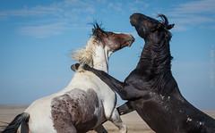 wild horse (cuddleupcrafts) Tags: wild horse photography horses onaqui herd utah wildlife west desert great basin