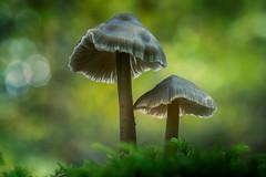 Angular (aj_nicolson) Tags: appicoftheweek mushroom fungi nature outdoors woodland bokeh moss green angular two light