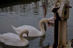1359-13L (Lozarithm) Tags: caenhill devizes swans canals kennetavon k50 55300 hdpda55300mmf458edwr justpentax