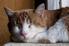 (Vitatrix) Tags: katze jungkater getigert cat gatto felis chat