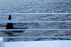 Close Call! (subherwal) Tags: orca killerwhale boat