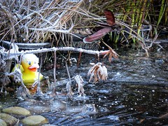 Quack! (Darling Starlings Flying the Nest) Tags: duck pond ice frost cold wintery garden plasticduck