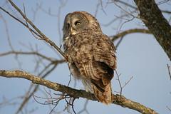 IMG_0882.JPG (jean.dezeeuw) Tags: great gray owlowl invasion 2005aitkin county mn strix nebulosa