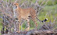 Cheetah (Bob Eade) Tags: southafrica krugerpark kruger cheetah cat safari jockssafari nikond610 africa wildlife nature