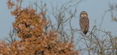 """Autumnowl"" (KHR Images) Tags: shortearedowl short eared owl seo wild bird birdofprey perched sunshine wildlife nature asioflammeus fens fenland cambridgeshire eastanglia nikon d7100 kevinrobson khrimages scowl"