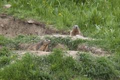 Marmottes (Laurent Moulin photographie) Tags: marmottes marmotte murmeltier montagne
