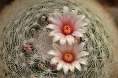 D71_8442A (vkalivoda) Tags: mamilrie mammillaria kaktus cactus kaktee cacto kvtina flower macro blossom plant d7100 nikon nikon10528 nikon105 cacti cactuses