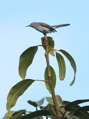 Gnatcatcher 20161204 (Kenneth Cole Schneider) Tags: florida miramar westbrowardwca