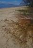 Cassytha filiformis on Ipomoea pescaprae, Pallarenda Beach, Townsville, QLD, 10/08/15 (Russell Cumming) Tags: plant queensland townsville convolvulaceae ipomoea pallarenda lauraceae ipomoeapescaprae cassytha cassythafiliformis pallarendabeach